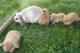 Résultat de recherche d'images pour 'bébé lapin bélier trop mignon'