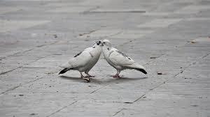 <b>Kiss</b> Lovers Two <b>Pigeons</b> - Free photo on Pixabay