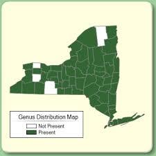 Stellaria - Genus Page - NYFA: New York Flora Atlas - NYFA: New ...