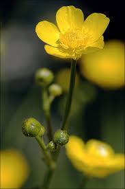 Ranunculus acris Calflora
