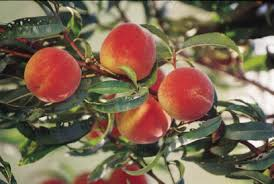 Image result for contender peach tree