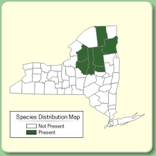 Nardus stricta - Species Page - NYFA: New York Flora Atlas