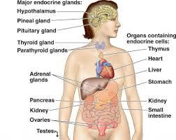 endocrine system diagram   anatomy human body     ×  endocrine system diagram