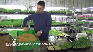 <b>Микрозелень</b> посадка <b>гороха</b> - YouTube