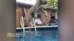 Watch pool-loving dog <b>jump</b> in on <b>hot summer</b> day - The Weather ...