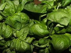 Ocimum basilicum Sweet Basil, Common Basil, Thai Basil, Tropical ...