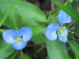 Commelina virginica - Wikipedia
