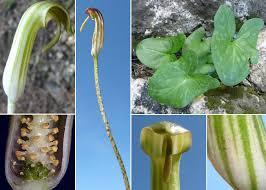 Arisarum vulgare O.Targ.Tozz. subsp. vulgare - Guida alla flora degli ...
