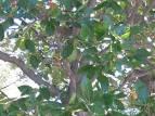 nyssaceae