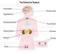 diagram of endocrine system   human anatomy diagram    humananatomybody diagram of endocrine system diagram of endocrine system   humananatomybody