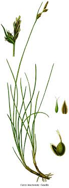 File:Cleaned-Carex mucronata.png - Wikimedia Commons