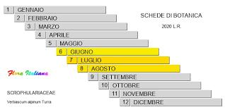 Verbascum alpinum [Verbasco alpino] - Flora Italiana