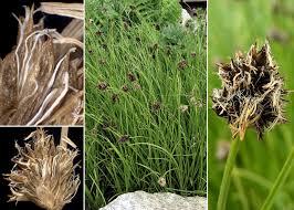 Carex foetida All. - Sistema informativo sulla flora delle Alpi ...