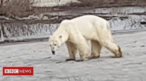 Hungry and exhausted <b>polar bear</b> wanders into Russian city - BBC ...