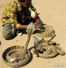 kobra india