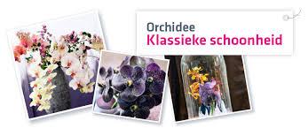 Orchidee - MijnBloemist
