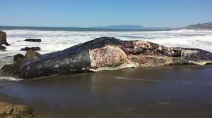 Image result for dead dead whale found at linda mar beach, Pacifica, CA picture