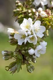 Prunus avium '<b>Summer Sun</b>' (D) | cherry (sweet)