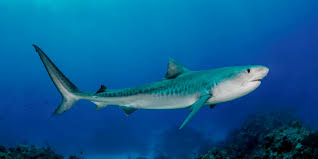 tiger lemon sharks awestore imagine kneeling in the white bahamian sand leaning back and enjoying the swarm of lemon and reef sharks but these smaller sharks are not the sharks you