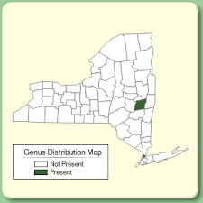 Genista - Genus Page - NYFA: New York Flora Atlas - NYFA: New ...