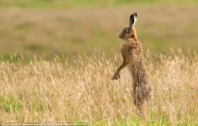 Image result for hare