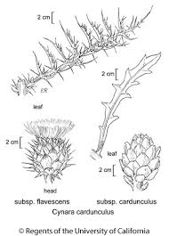 Cynara cardunculus subsp. cardunculus
