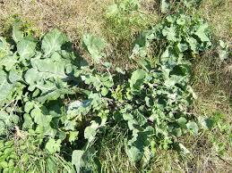 Brassica oleracea - Wikipedia