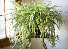 spider plant best office plant no sunlight