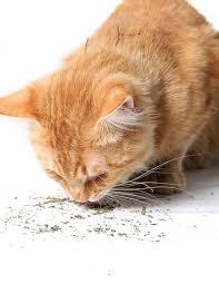 Why Do <b>Cats Love</b> Catnip? - Scientific American