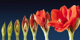 """Résultat de recherche d'images pour """"les fleurs d'amaryllis"""""""