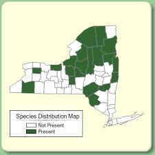 Carex magellanica ssp. irrigua - Species Page - NYFA: New York ...