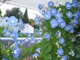 Image result for morning glory images