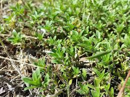 File:Thymus serpyllum s. str. sl3.jpg - Wikimedia Commons