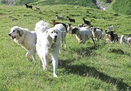 Πόσοι σκύλοι χρειάζονται στο κοπάδι;