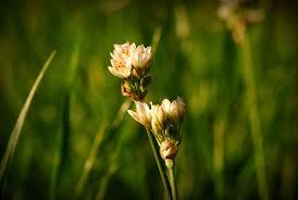 Resultado de imagem para flor de campo