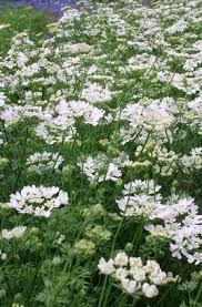 Orlaya grandiflora | white laceflower/RHS Gardening