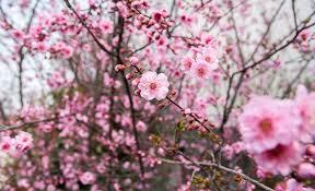 <b>Plum Blossoms</b> in Japan: Best Places for 2020 - JRailPass