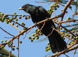Image result for google images of cuckoo