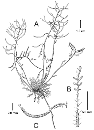 A SYNOPSIS OF THE GENUS BRAYA (BRASSICACEAE)