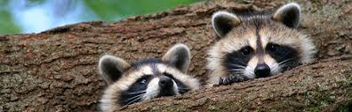 Image result for raccoons