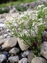 File:Galium anisophyllum Vill. (7582452232).jpg - Wikimedia ...