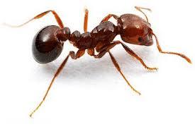 Resultat d'imatges de formiga