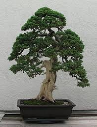 informal upright style juniper bonsai tree