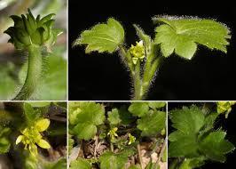 Ranunculus chius DC. - Guida alla flora degli stagni temporanei ...