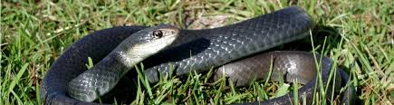 Commonly <b>Confused</b> Snakes in Central Florida - Natural Resources