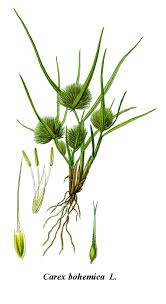 Carex bohemica - Wikispecies