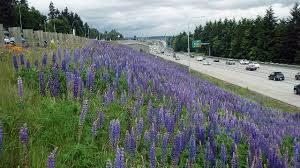 Wash. state highway median changes will help natural pollinators ...