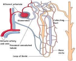 slide  nephron  diagram
