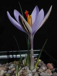 Crocus corsicus - Crocus species - Alpine Garden Society