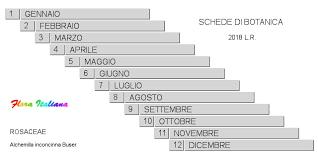 Alchemilla inconcinna [Ventaglina sgraziata] - Flora Italiana